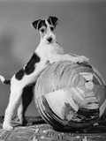 1940s Terrier in Playful Pose Front Paws Up on Large Ball Ready to Play Photographic Print