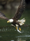 Bald Eagle, British Columbia, Canada Photographie par Paul Souders