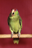 1960s Green Parrot with Red and Blue Cap Sitting on Perch Talking Stampa fotografica