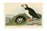 Macareux Impression giclée par John James Audubon