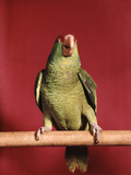 1960s Green Parrot with Red Blue Feather Cap Dancing on a Perch Stampa fotografica