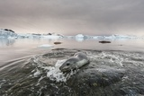 Leopard Seal Hunting, Antarctica Photographic Print by Paul Souders