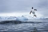 Gentoo Penguin on Cuverville Island, Antarctica Fotografie-Druck von Paul Souders