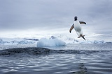 Gentoo Penguin on Cuverville Island, Antarctica Photographic Print by Paul Souders