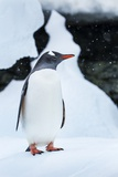 Gentoo Penguin in Antarctica Photographic Print by Paul Souders