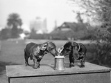 Two Dachshund Puppies Lapping Beer from Stein Fotografie-Druck
