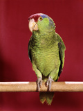 1960s Green Parrot with Red Blue Feather Cap on a Perch Stampa fotografica