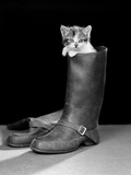 1950s Puss in Boots Cute Kitten Climbing Out of Man's Boot Photographic Print