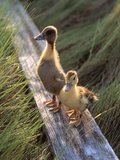 Two Ducklings Standing on a Log Photographic Print