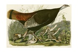 Wild Turkey Giclee Print by John James Audubon