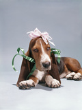 1960s Funny Hound Dog Wearing Ribbon Bows Photographic Print