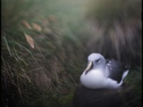 Albatross on Diego Ramirez Islands, Chile Photographic Print by Paul Souders
