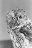 Great Gray Owl Strix Nebulosa Staring at Camera Photographic Print