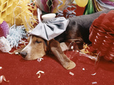 1960s Hound Dog Wearing Ice Pack Suffering an after Party Hangover Photographic Print