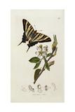 A Scarce Swallow-Tail Butterfly (Iphiclides Podalirius) on Pear Blossom (Pyrus Communis) Digitálně vytištěná reprodukce