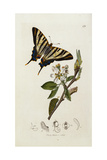 A Scarce Swallow-Tail Butterfly (Iphiclides Podalirius) on Pear Blossom (Pyrus Communis) Giclee Print