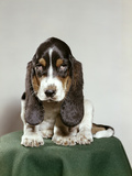 Bassett Hound Puppy with Soulful Sad Eyes Looking Directly Ahead Photographic Print by D. Corson