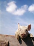 Young Piglet Looking over Fence