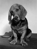 Basset Hound Puppy Looking Sad Head Tilted to One Side Photographic Print by D. Corson