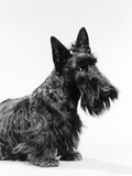 Black Scottie Scottish Terrier Dog with Head Slightly Tilted Photographic Print by H. Armstrong Roberts