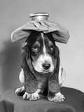 Bassett Hound Dog with Ice Pack on Head Photographic Print by D. Corson