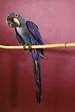 1960s Purple Hyacinthine Macaw on Perch in Philadelphia Zoo Stampa fotografica di H. Armstrong Roberts
