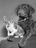 1950s Portrait of Lab Mix Dog Lying Down with Kitten Sitting on Paw Photographic Print by D. Corson