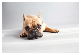 Sad Frenchie Prints by Susan Sabo