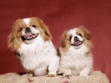 1970s Two Pekinese Dogs Brown and White Big Little Leaning Tongues Out Cute Photographic Print by D. Corson