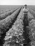 1970s Man Standing with Arms Crossed Among Rows of Large Soybean Crop Photographic Print by H. Armstrong Roberts