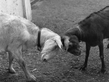 A Black and a White Goat Butting Heads Photographic Print by H. Armstrong Roberts