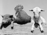 1960s Piglet Rooster Lamb Trio Leaning on Wooden Fence Pig Chick Sheep Fotografie-Druck von D. Corson
