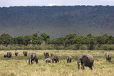 Elephant (Loxodonta Africana) Herd Walking to the River to Drink Photographic Print by Ann and Steve Toon