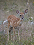 White-Tailed Deer (Whitetail Deer) (Virginia Deer) (Odocoileus Virginianus) Fawn Photographic Print by James Hager