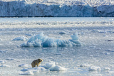 Adult Polar Bear (Ursus Maritimus) on the Ice in Gashamna (Goose Bay) Photographic Print by Michael Nolan