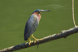 Green Heron (Butorides Virescens) by the Nosara River at the Biological Reserve Photographic Print by Rob Francis