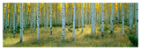 Aspens, Ashley Posters by Alain Thomas