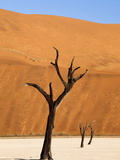 Dead Camelthorn Trees Said to Be Centuries Old Against Towering Orange Sand Dunes Bathed Photographic Print by Lee Frost