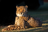 Regal Cheetah Basking in the Afternoon Sun at Umkondo Cheetah Rehabilitation Centre Near Mosselbay Photographic Print by Fiona Ayerst