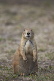 Black-Tailed Prairie Dog (Blacktail Prairie Dog) (Cynomys Ludovicianus) Photographic Print by James Hager