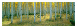 Aspens, Ashley Print by Alain Thomas