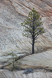 Pine Tree Growing on a Sandstone Ledge Photographic Print by James Hager