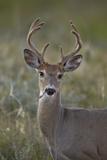 White-Tailed Deer (Whitetail Deer) (Virginia Deer) (Odocoileus Virginianus) Buck Photographic Print by James Hager