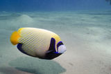 Emperor Angelfish (Pomacanthus Imperator) Close to Sandy Seabed Photographic Print by Mark Doherty