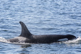 Resident Killer Whale Photographic Print by Michael Nolan