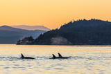 Transient Killer Whales (Orcinus Orca) Surfacing at Sunset Photographic Print by Michael Nolan