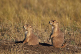 Two Black-Tailed Prairie Dog (Blacktail Prairie Dog) (Cynomys Ludovicianus) Photographic Print by James Hager