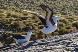 Adult Black-Browed Albatross (Thalassarche Melanophrys) Pair Photographic Print by Michael Nolan