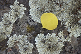 Yellow Aspen Leaf on a Lichen-Covered Rock in the Fall Photographic Print by James Hager