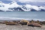 Southern Elephant Seals (Mirounga Leonina) Photographic Print by Michael Nolan